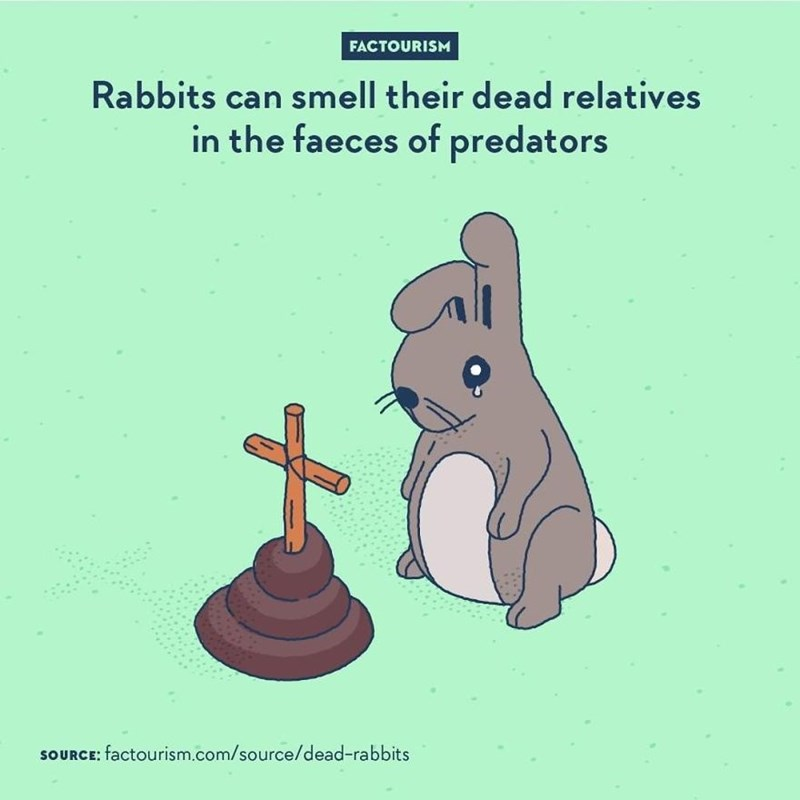 Cartoon - FACTOURISM Rabbits can smell their dead relatives in the faeces of predators SOURCE: factourism.com/source/dead-rabbits