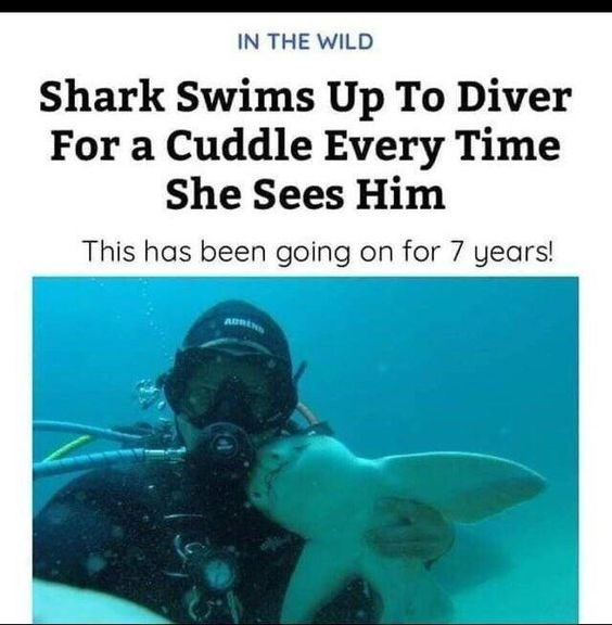 Scuba diving - IN THE WILD Shark Swims Up To Diver For a Cuddle Every Time She Sees Him This has been going on for 7 years! AURN