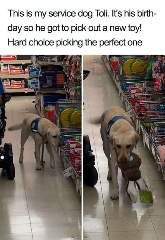 Dog breed - This is my service dog Toli. It's his birth- day so he got to pick out a new toy! Hard choice picking the perfect one