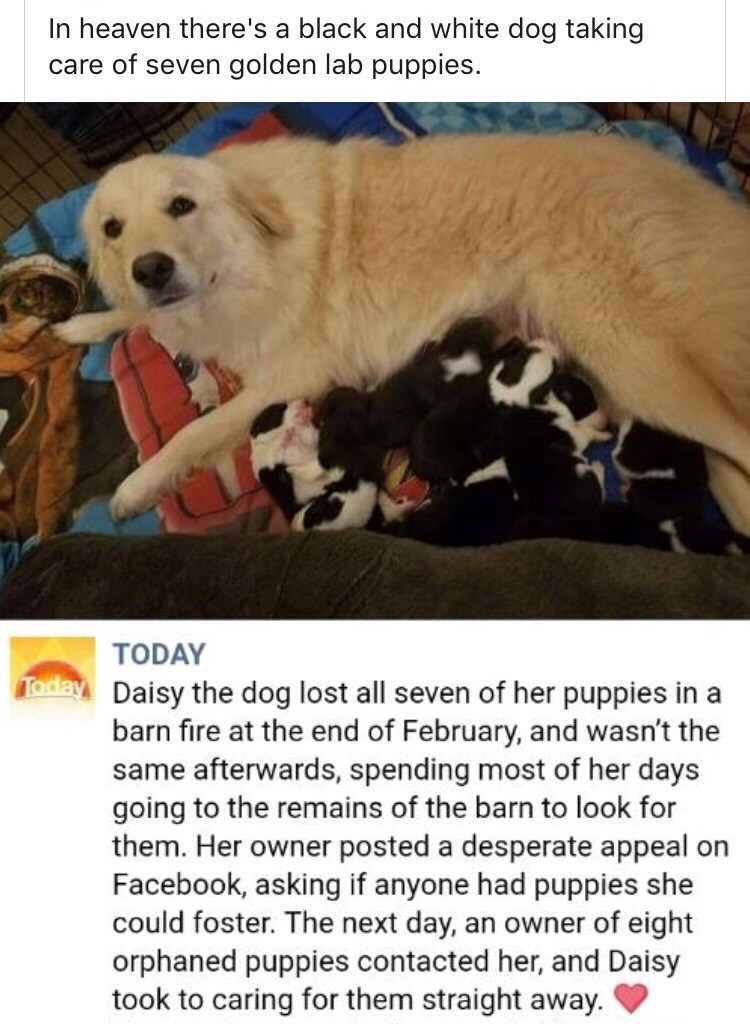 Vertebrate - In heaven there's a black and white dog taking golden lab puppies. care of seven TODAY oday Daisy the dog lost all seven of her puppies in a barn fire at the end of February, and wasn't the same afterwards, spending most of her days going to the remains of the barn to look for them. Her owner posted a desperate appeal on Facebook, asking if anyone had puppies she could foster. The next day, orphaned puppies contacted her, and Daisy took to caring for them straight away. an owner of