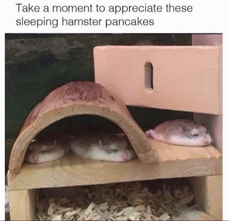 Tortoise - Take a moment to appreciate these sleeping hamster pancakes