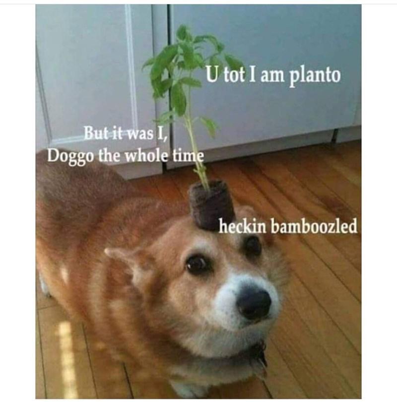 Dog - U tot I am planto But it was I, Doggo the whole time heckin bamboozled