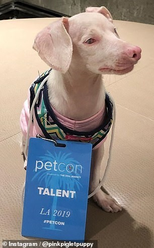 Dog - petcon TALENT LA 2019 #PETCON Instagram/@pinkpigletpuppy