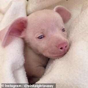 Mammal - Instagram/@pinkpigletpuppy