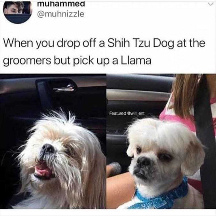 Dog - munammed @muhnizzle When you drop off a Shih Tzu Dog at the groomers but pick up a Llama Featured @will ent