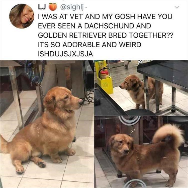 Dog - @sighlj LJ I WAS AT VET AND MY GOSH HAVE YOU EVER SEEN A DACHSCHUND AND GOLDEN RETRIEVER BRED TOGETHER?? ITS SO ADORABLE AND WEIRD ISHDUJSJXJSJA