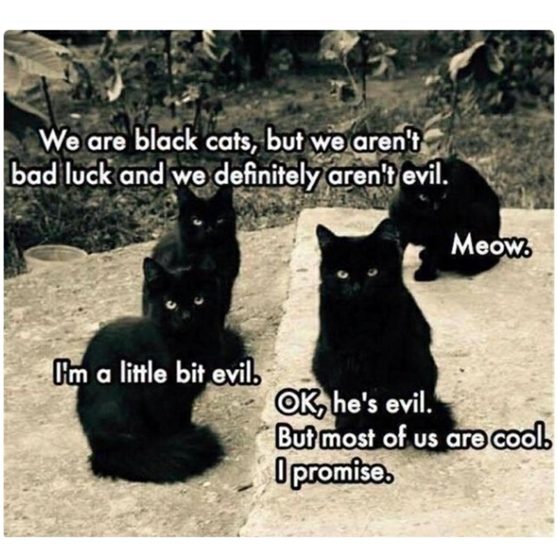 Cat - We are black cats, but we aren't bad luck and we definitely arent evil. Meow Um a little bit evil OK he's evil. But most of us are cools Dpromise