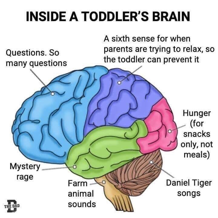 Brain - INSIDE A TODDLER'S BRAIN A sixth sense for when parents are trying to relax, so the toddler can prevent it Questions. So many questions Hunger (for snacks only, not meals) Mystery rage Farm Daniel Tiger animal songs sounds THE DAD