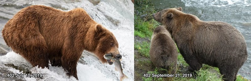 Brown bear - 402 July 10,2019 402 September 21, 2019