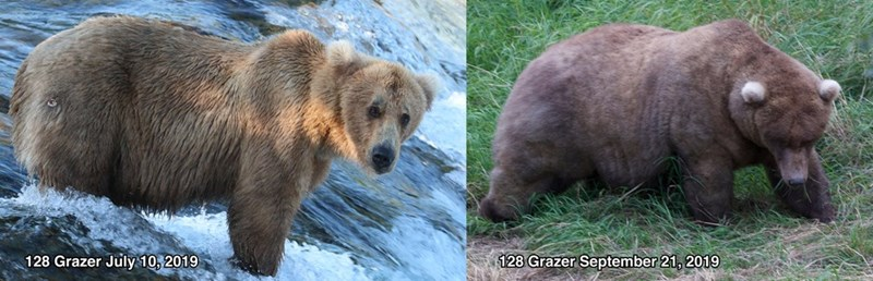 Brown bear - 128 Grazer July 10, 2019 128 Grazer September 21, 2019