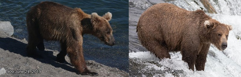 Brown bear - 909 June 24, 2019 909 September 17, 2019