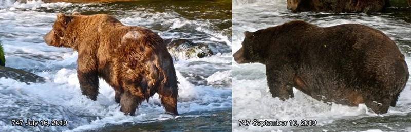 Brown bear - 747 September 1O, 2019 747 July 16, 2019