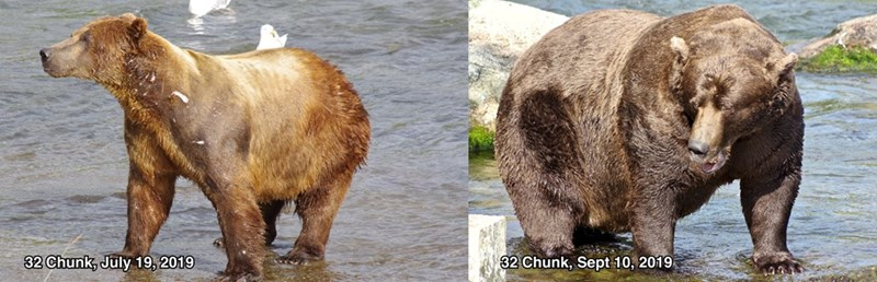 Brown bear - 32 Chunk, July 19, 2019 32 Chunk, Sept 10, 2019