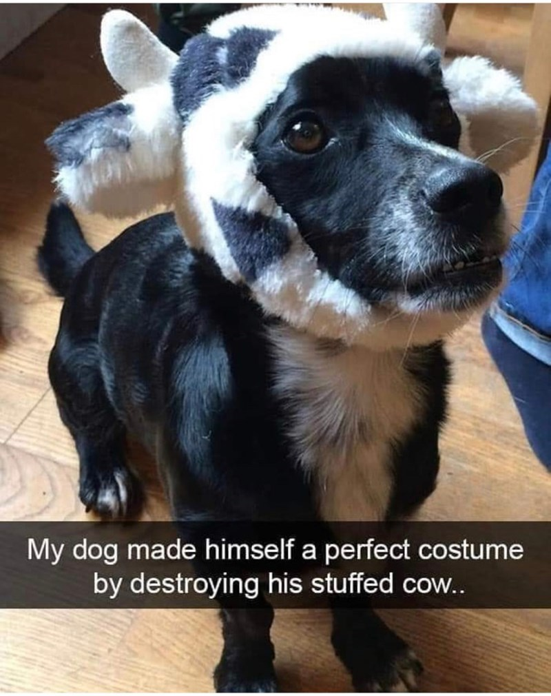 Dog breed - My dog made himself a perfect costume by destroying his stuffed cow..