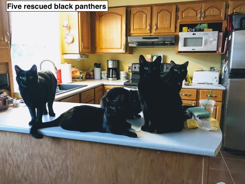 Room - Five rescued black panthers