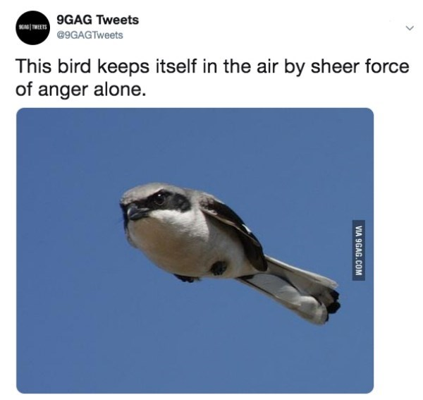 Bird - MIMETS 9GAG Tweets @9GAGTweets This bird keeps itself in the air by sheer force of anger alone. VIA 9GAG.COM