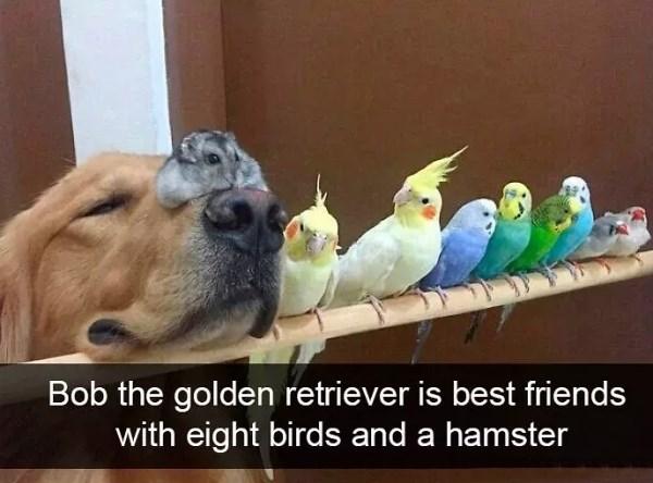 Bird - Bob the golden retriever is best friends with eight birds and a hamster