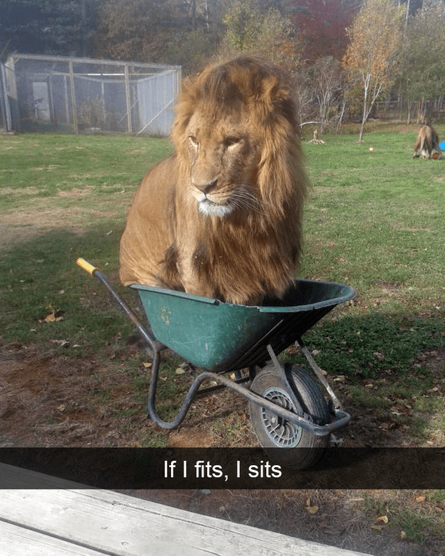 Lion - If I fits, I sits