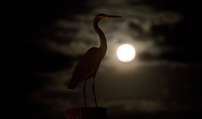 silhouette of great blue heron in front of the hunter's moon surrounded by clouds