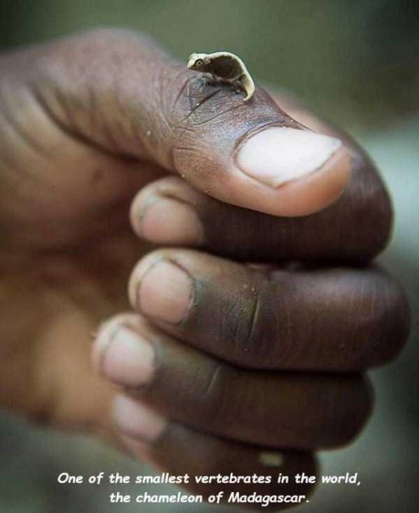Finger - One of the smallest vertebrates in the world, the chameleon of Madagascar.