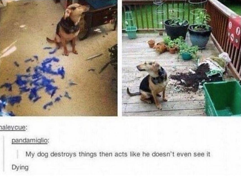 Canidae - aleycue: pandamiglio: My dog destroys things then acts like he doesn't even see it Dying