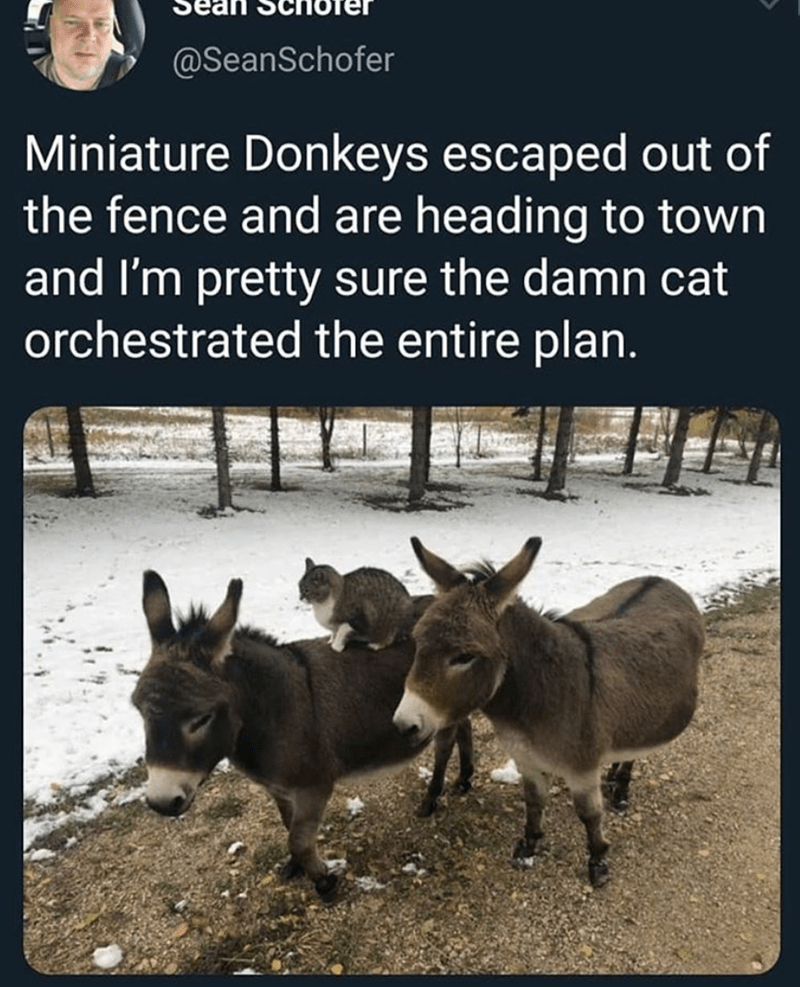 Mammal - @SeanSchofer Miniature Donkeys escaped out of the fence and are heading to town and I'm pretty sure the damn cat orchestrated the entire plan.