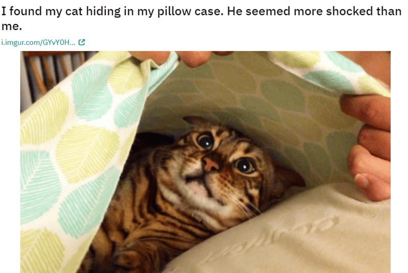 Cat - I found my cat hiding in my pillow case. He seemed more shocked than me. i.imgur.com/GYVY0H...