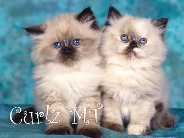 Cat - Cur M