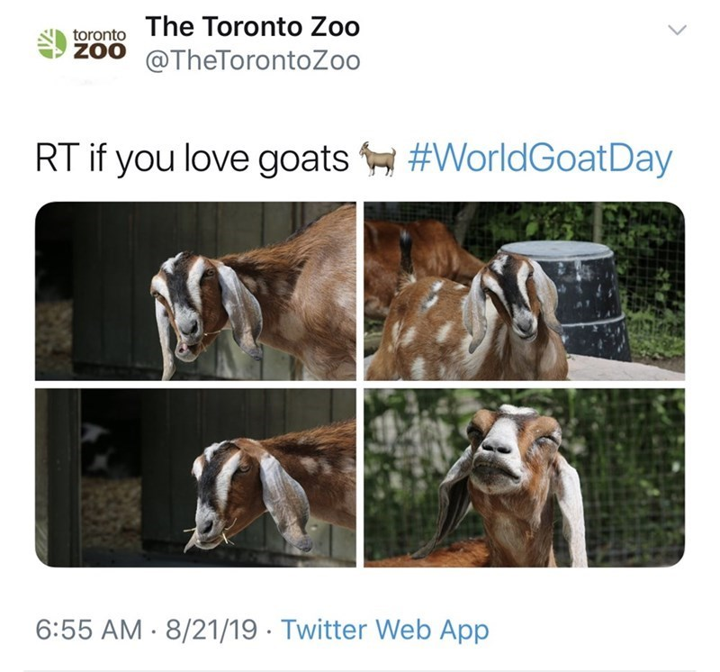 Goats - The Toronto Zoo toronto ZOO @TheTorontoZoo RT if you love goats#WorldGoatDay 6:55 AM 8/21/19 Twitter Web App