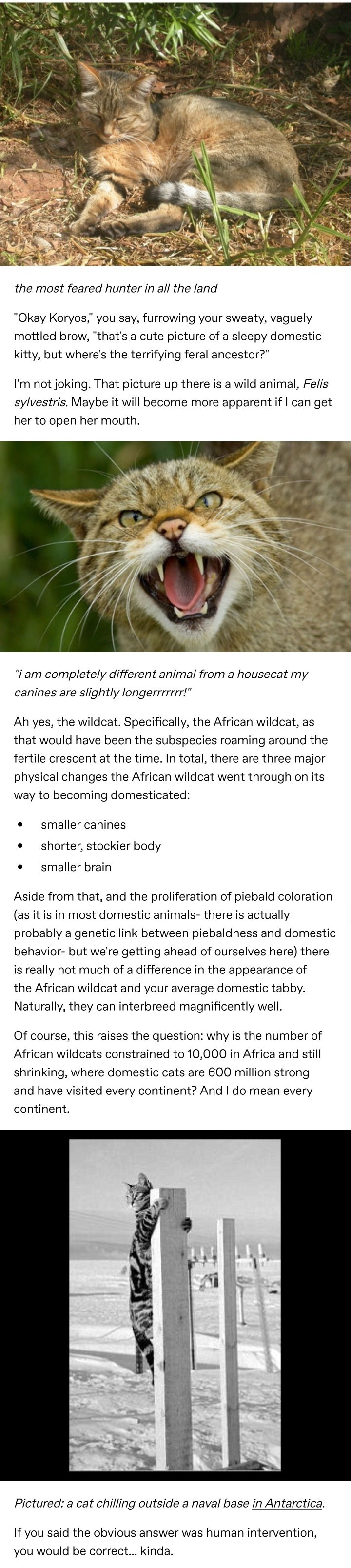 """Roar - the most feared hunter in all the land """"Okay Koryos,"""" you say, furrowing your sweaty, vaguely mottled brow, """"that's a cute picture of a sleepy domestic kitty, but where's the terrifying feral ancestor?"""" I'm not joking. That picture up there is a wild animal, Felis sylvestris. Maybe it will become more apparent if I can get her to open her mouth. """"i am completely different animal from a housecat my canines are slightly longerrrrrrr!"""" Ah the wildcat. Specifically, the African wildcat, as ye"""