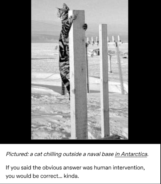 Text - Pictured: a cat chilling outside a naval base in Antarctica. If you said the obvious answer was human intervention, you would be correct... kinda.