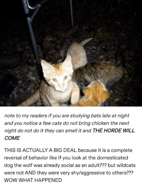 Cat - note to my readers if you are studying bats late at night and you notice a few cats do not bring chicken the next night do not do it they can smell it and THE HORDE WILL COME THIS IS ACTUALLY A BIG DEAL because it is a complete reversal of behavior like if you look at the domesticated dog the wolf was already social as an adult??? but wildcats were not AND they were very shy/aggressive to others??? WOW WHAT HAPPENED