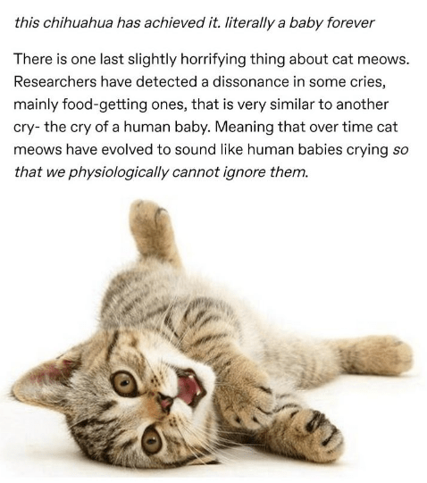 Cat - this chihuahua has achieved it. literally a baby forever There is one last slightly horrifying thing about cat meows. Researchers have detected a dissonance in some cries, mainly food-getting ones, that is very similar to another cry- the cry of a human baby. Meaning that over time cat meows have evolved to sound like human babies crying so that we physiologically cannot ignore them.