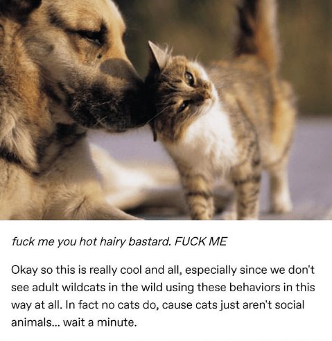 Cat - fuck me you hot hairy bastard. FUCK ME Okay so this is really cool and all, especially since we don't see adult wildcats in the wild using these behaviors in this way at all. In fact no cats do, cause cats just aren't social animals... wait a minute.