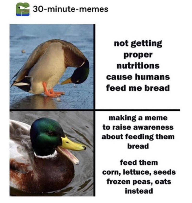 Mallard - 30-minute-memes not getting proper nutritions cause humans feed me bread making a meme to raise awareness about feeding them bread feed them corn, lettuce, seeds frozen peas, oats instead
