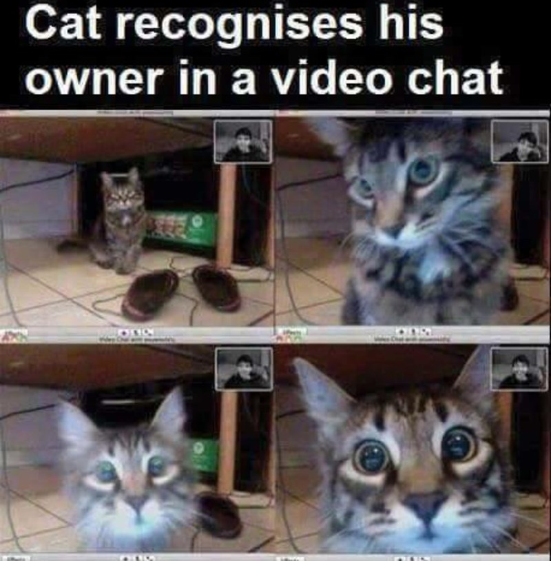 Cat - Cat recognises his owner in a video chat