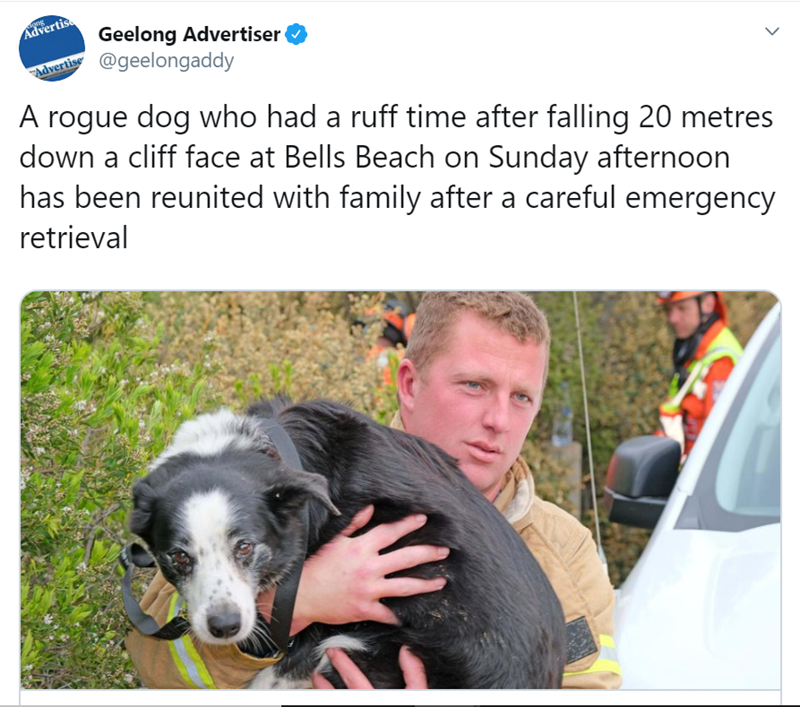 Dog breed - diong Advertis Geelong Advertiser @geelongaddy Advertise A rogue dog who had a ruff time after falling 20 metres down a cliff face at Bells Beach on Sunday afternoon has been reunited with family after a careful emergency retrieval