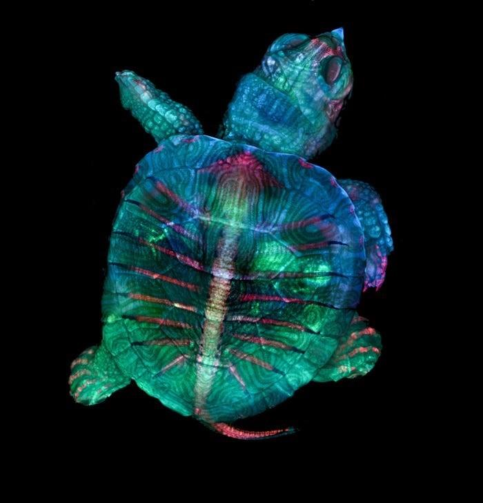 photo of flourescent turtle embryo