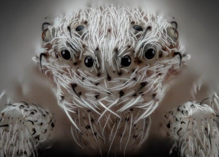 close up photo of white hairy spider many eyes