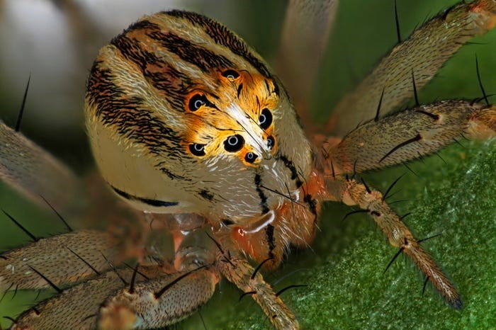 close up of female lynx spider with stripes on body