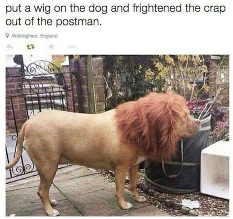 Dog - put a wig on the dog and frightened the crap out of the postman. Wokingham, England 3