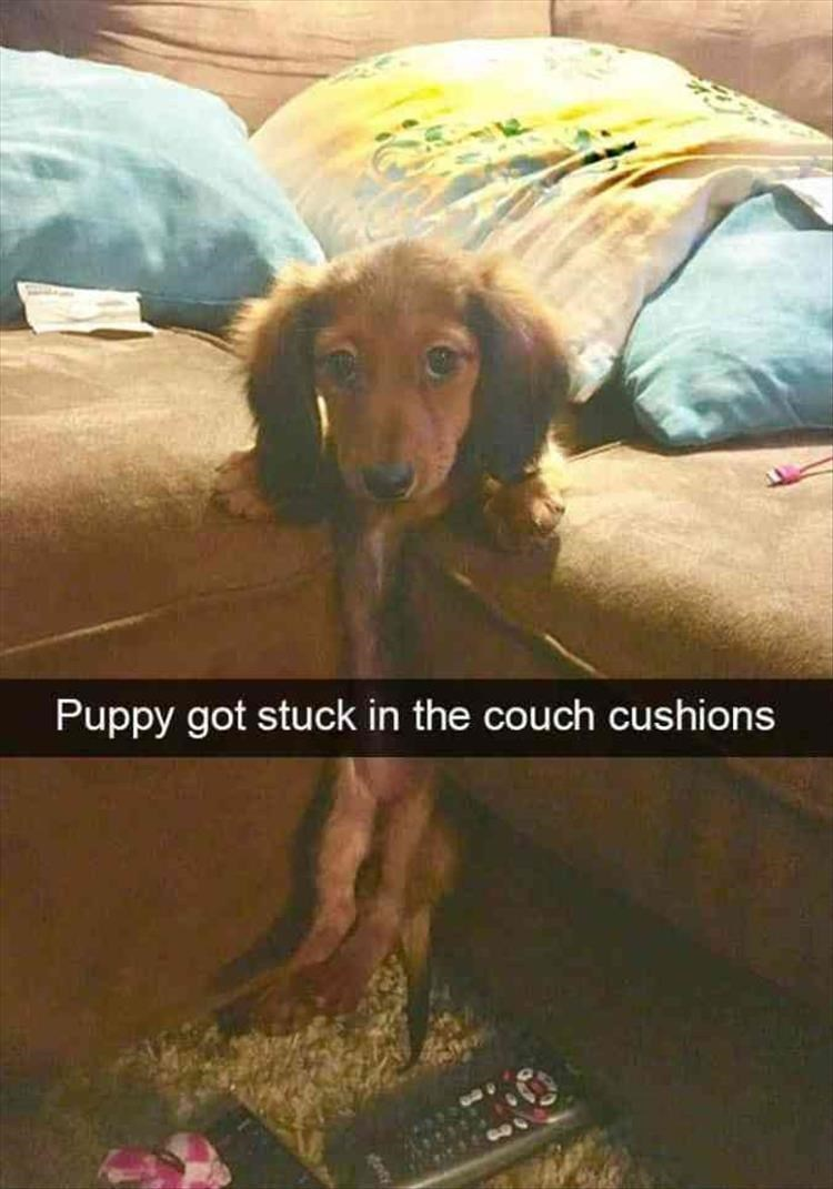 Dog - Puppy got stuck in the couch cushions