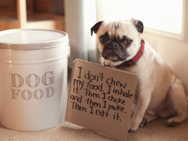 Pug - I don't chew my food, I inhale Then 1 choke and then I puke. Then I eat it. DOG FOOD
