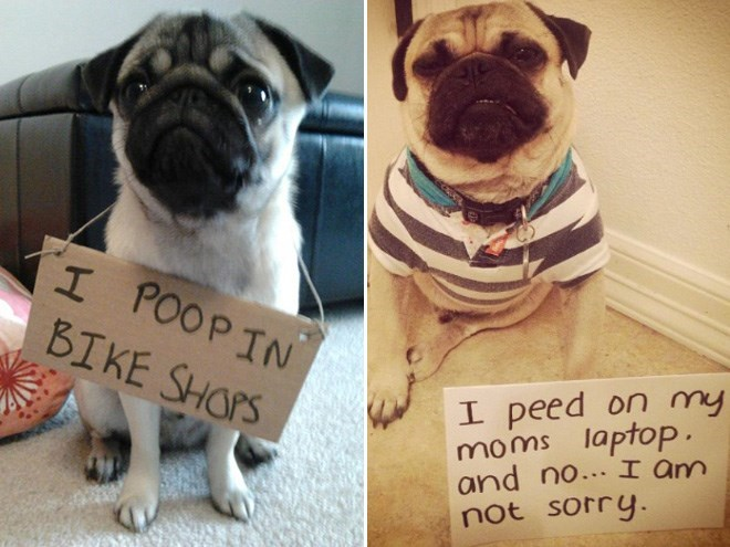 Pug - I POOPIN BIKE SHOPS I peed on my moms laptop. and no...I am not sorry.