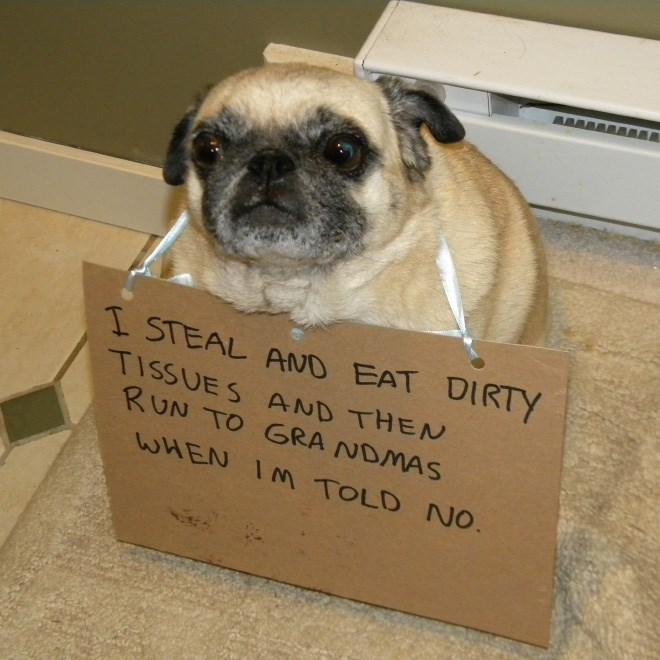 Pug - I STEAL AND EAT DIRTY TISSUES AND THEN RUN TO GRA NDMAS WHEN IM TOLD NO.