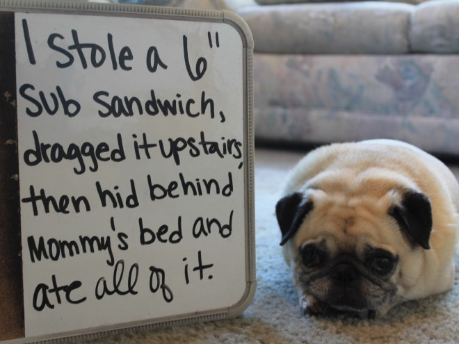 Pug - Stole a lo Sub sandwich, |dtragged it upstaig then hid behind Mommy's bed and ate all an it