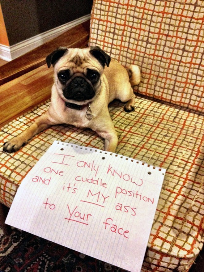 Pug - ONy KNOL cudd le positioON and its MY ass ONe Your face to