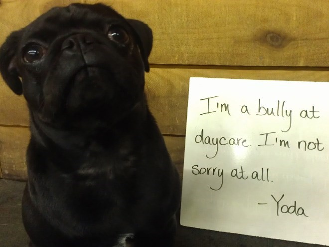 Dog - Im bully at daycare. Im not Sorry -Yoda a at all.