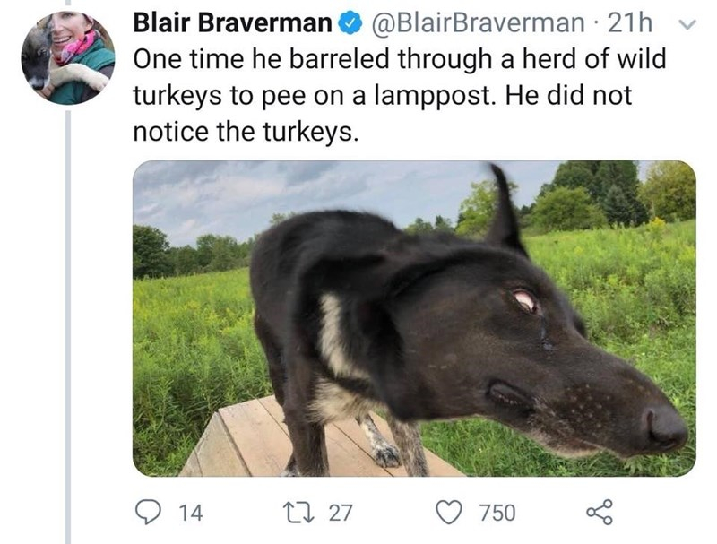 Canidae - @BlairBraverman 21h Blair Braverman One time he barreled through a herd of wild turkeys to pee on a lamppost. He did not notice the turkeys 14 t 27 750