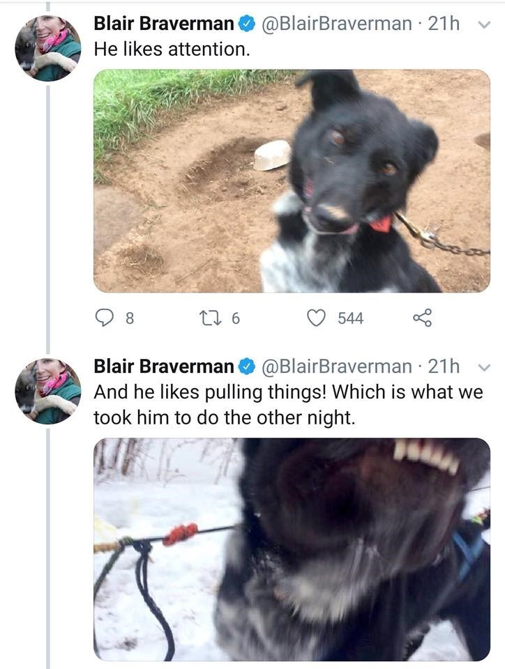 Dog breed - Blair Braverman @BlairBraverman 21h He likes attention t 6 8 544 Blair Braverman @BlairBraverman 21h And he likes pulling things! Which is what we took him to do the other night.